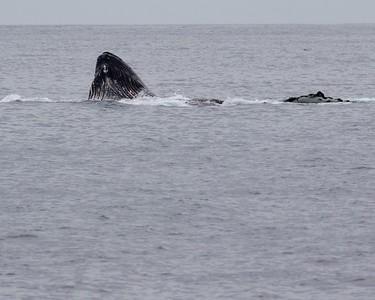 humpback whale bubble-net feeding.
